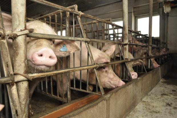 Będą zmiany w znakowaniu świń