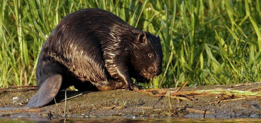 Odpowiedź GDOŚ w sprawie odszkodowań za szkody wyrządzone przez bobry – składanie oświadczeń