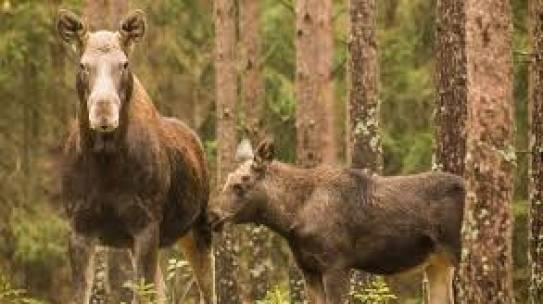 Szacowanie szkód wyrządzonych przez zwierzęta objęte ochroną gatunkową, za które odpowiada Skarb Państwa (bóbr, wilk, żubr, ryś oraz niedźwiedź).