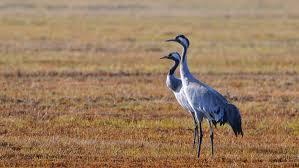 Odpowiedź RDOŚ na pismo ws. ptaków niszczących uprawy rolne