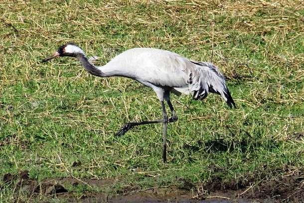 Szkody wyrządzane przez ptaki w uprawach polowych i stawach hodowlanych